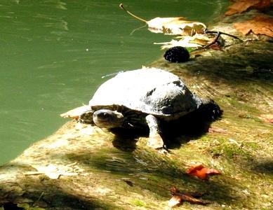 Такие черепашки живут в местных озерцах