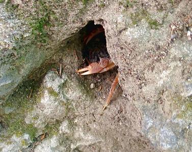 А тут видна только клешня крабика. Сам он уже успел спрятаться